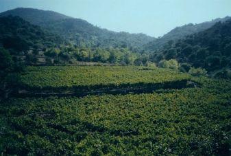 Mitilini vineyards