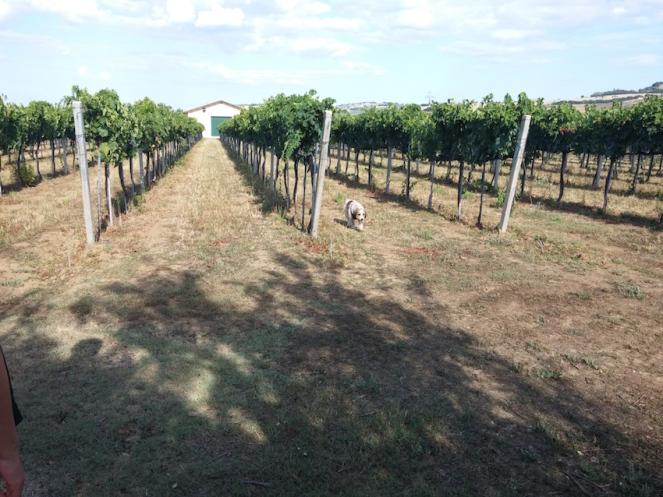 Pluto ispeziona le vigne