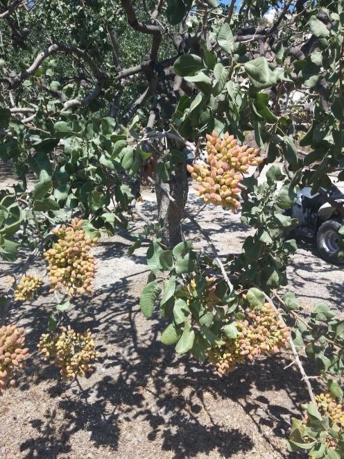 Ci accoglie un albero di pistacchio bello carico