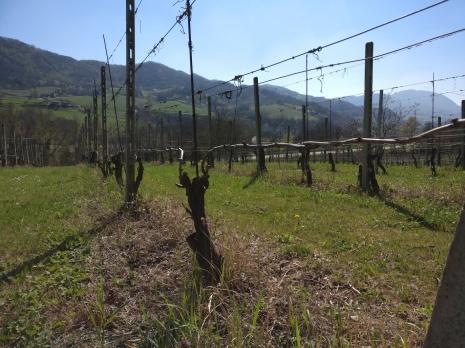 Malvasia di Candia aromatica, Barbera , Croatina e Termarina i vitigni piantati.
