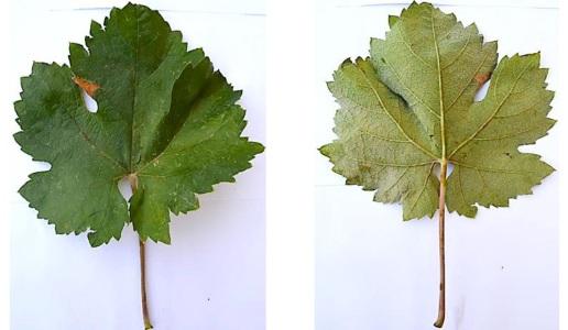 Malamezia1